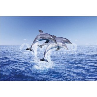 plakat Dolphin Trio - Pyramid Posters, PYRAMID POSTERS